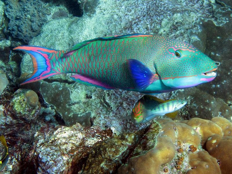 20-Рыба-попугай. Большой Барьерный риф