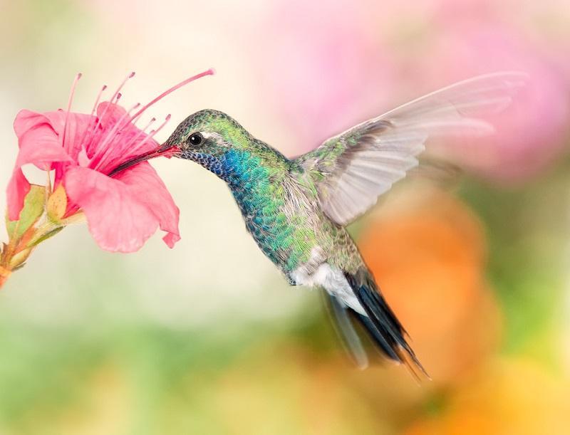 1-Колибри пьет нектар