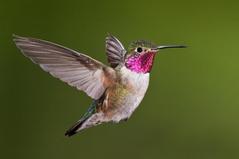 10-Колибри с розовым воротничком