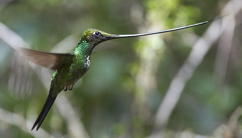 11-Мечеклювый колибри
