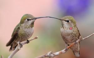 16-Дружба колибри