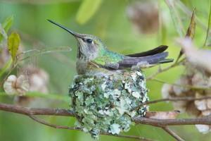 17-Самка колибри в гнезде