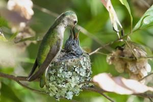 18-Самка колибри кормит птенца