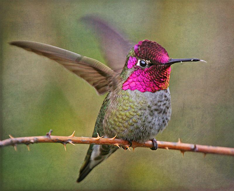 19-Колибри - птица с красочной окраской
