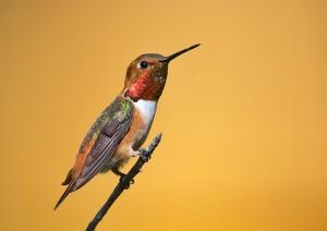 27-Колибри - птица-рекордсмен