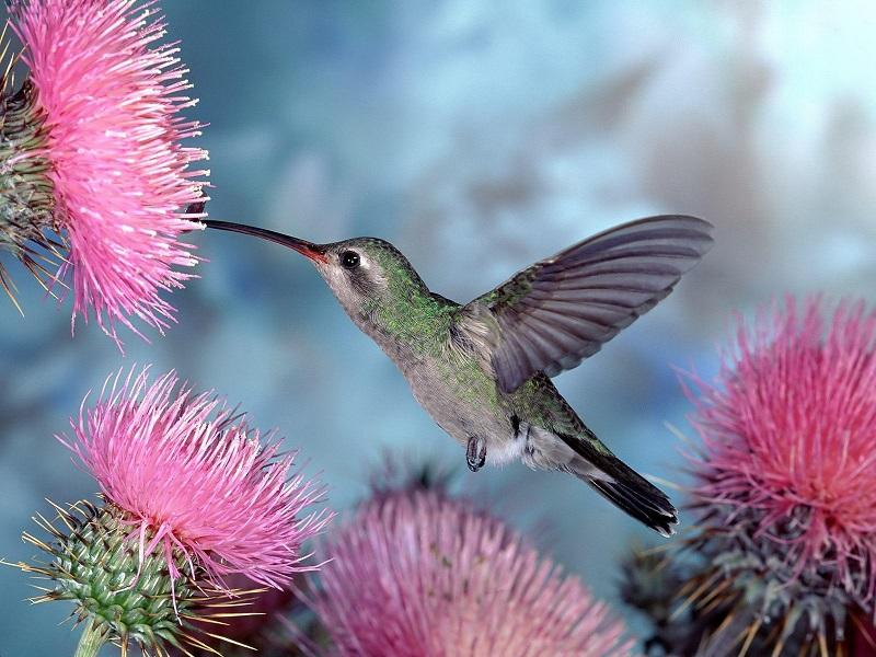 28-Птица колибри в окружении цветов
