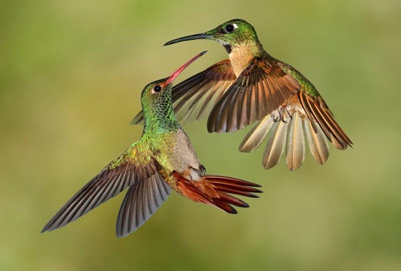 3-Брачные игры колибри