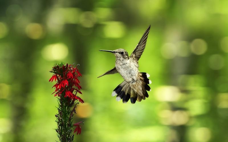 5-Пируэты колибри в воздухе