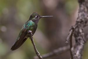 8-Самая маленька птица в мире - колибри