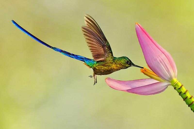 9-Длиннохвостый колибри наслаждается нектаром