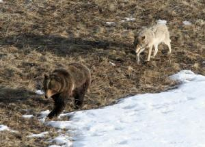 Leopold wolf following grizzly bear;