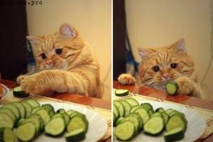 Почему кошки боятся огурцов? korysno.pro