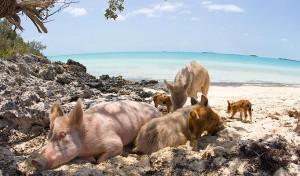 beach-pigs3_1235841a