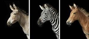 Потрясающие фото лошадей от Тима Флака