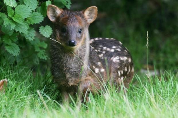 Так вот ты какой, самый маленький олень!