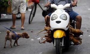 Фестиваль поедания собак в Юлин (не рекомендуется просмотр впечатлительным)