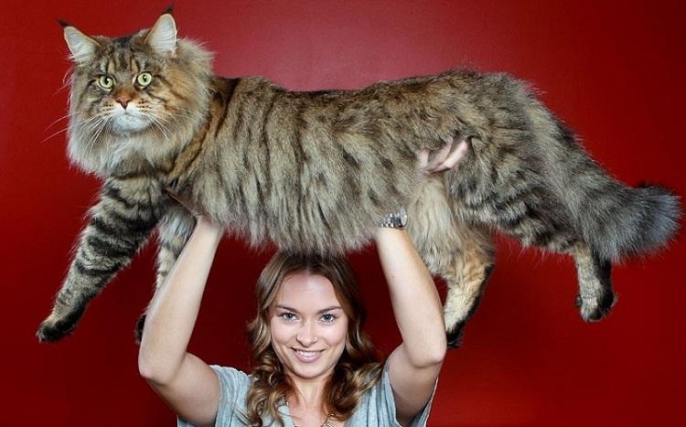 Самые дорогие породы кошек Топ-18