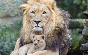 Львята с папами. Папина любовь