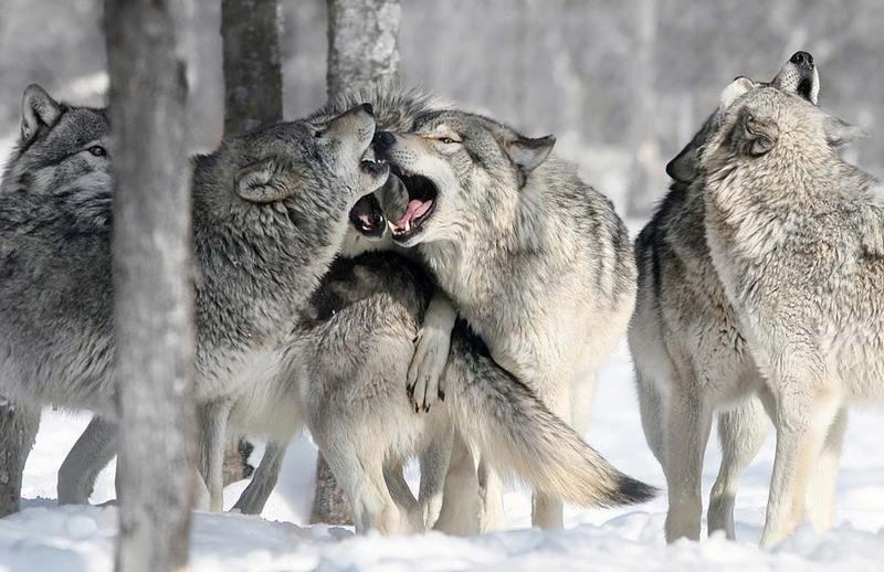 Что мы знаем про волков?
