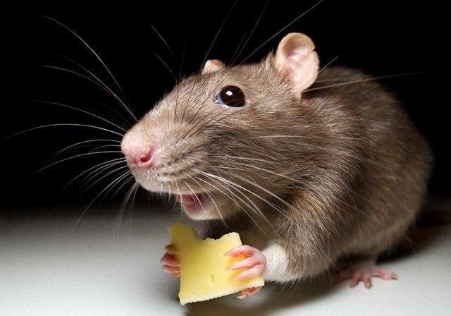 Хомячки, крысы, морские свинки, шиншиллы — кого купить своему ребенку?