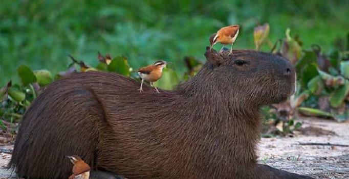 15-zabavnyh-foto-kapibary-samogo-krupnogo-gryzuna-v-mire