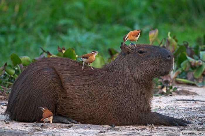 15 забавных фото капибары - самого крупного грызуна в мире