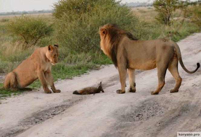 Два льва подошли к раненой лисе. То, что произошло дальше, поразило весь научный мир