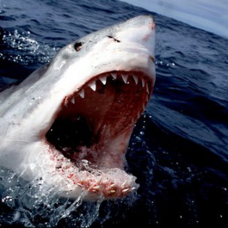 south africa, great white shark charging at surface w/ mouth open carcharodon carcharias e-1108