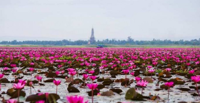 ozero-neveroyatnoj-krasoty-more-krasnyh-lotosov-v-tailande
