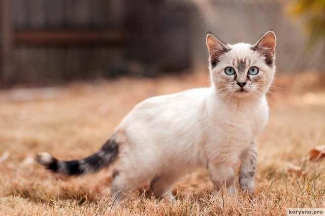 10 интересных фактов о сиамских кошках