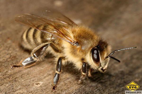 Почему пчела умирает после того, как ужалит?