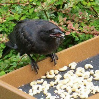 В благодарность вороны приносят девочке подарки