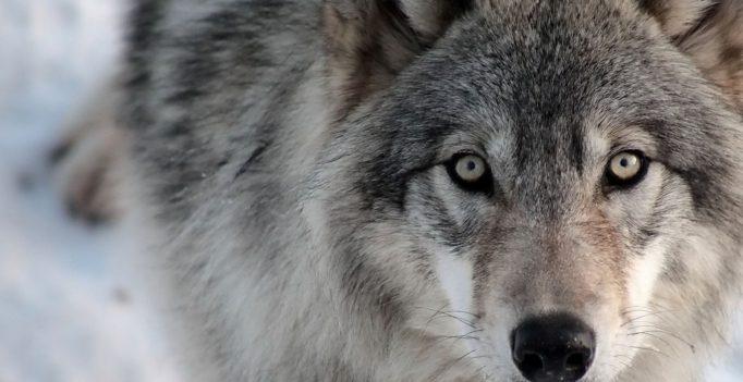 Важность волков в экосистеме
