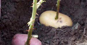 Он втыкает розу в картошку и сажает ее в горшок. Через неделю вырастает уникальное!