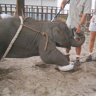Жестокая дрессировка слонов