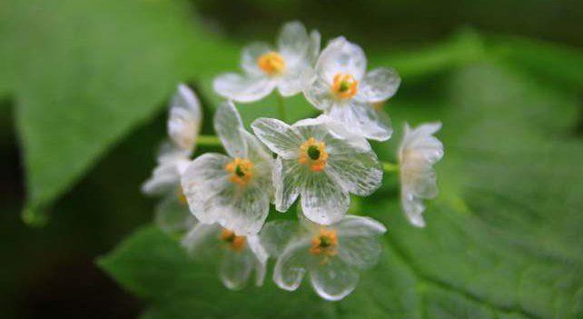 Цветок-скелет - становится прозрачным во время дождя
