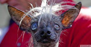 В США выбрали самую уродливую собаку