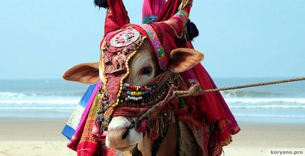 Indian sacred cow on the beach