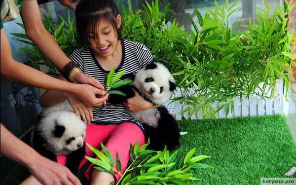 Собаки-панды: новая порода обычных собак