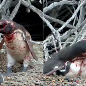 Кровавая разборка из-за измены жены показала, что пингвины - они как люди