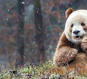 Кизай - уникальная и единственная коричневая панда в мире