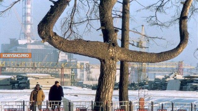 Чернобыльская сосна
