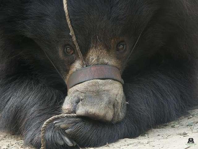 Морду медведя стягивала веревка, и он «танцевал» от боли…