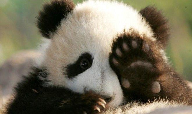 Детский садик для панд в Китае